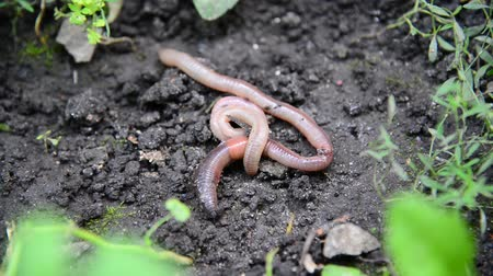squirm : The earthworms lie on ground Stock Footage