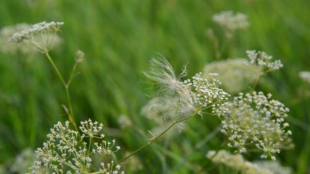 grassplot : Grass in meadow close-up, Russia