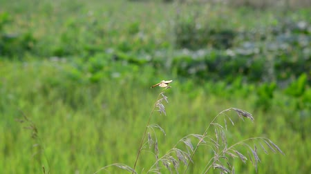 grassplot : Dragonfly sitting on the grass on summer meadow Stock Footage