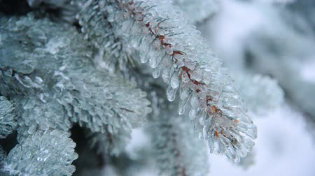 glaciation : Ice-covered branch of blue spruce
