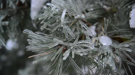 glaciation : Ice-covered branch of pine Stock Footage