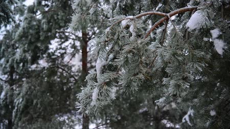 glaciation : Pine tree covered with ice crust in forest after the rain Stock Footage