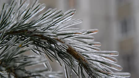 glaciation : pine needles is icy after rain in winter