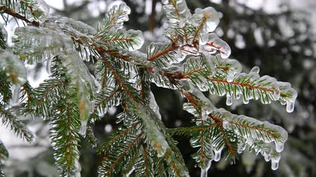 glaciation : branches of spruce covered with ice after rain