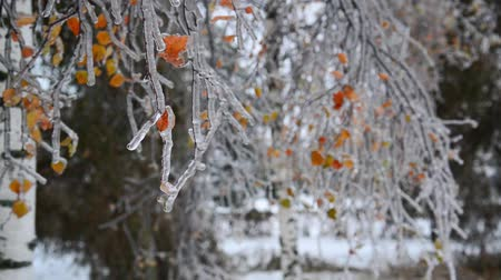 glaciation : Birch leaves are covered with ice after rain in winter Stock Footage
