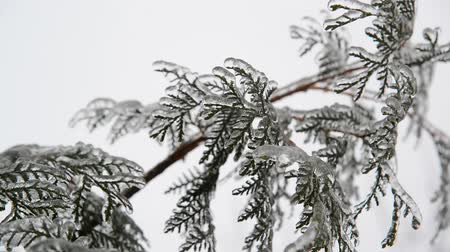 glaciation : fir needles is icy after rain in winter