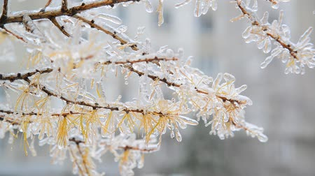 glaciation : Larch with yellow needles is icy after rain in winter