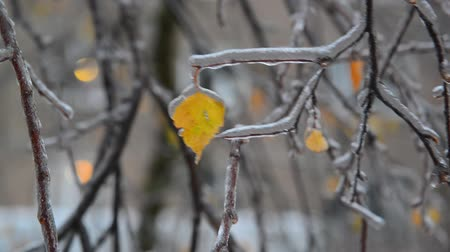glaciation : Birch leaves are covered ice after rain in winter