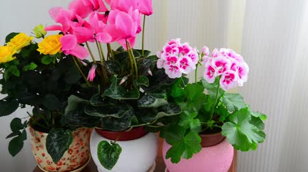 герань : cyclamen, rose and geranium in white interior
