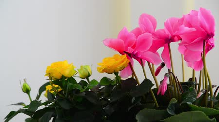 герань : Beautiful flowers of cyclamen, rose and geranium