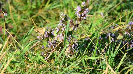 ısırgan otu : dead nettle and butterfly in the steppe Stok Video