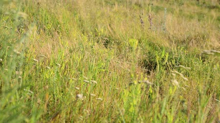 grassplot : Meadow grass in steppe at the end of summer