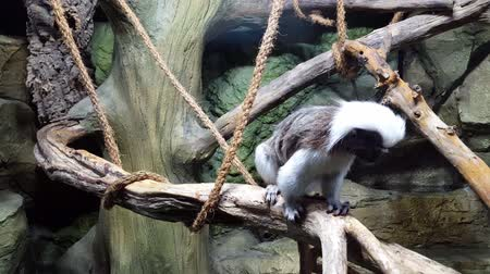 tamarin : Cotton Top Tartar sits on branch in the monkey