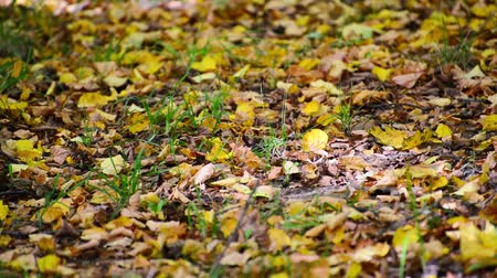 caído : Yellow fallen leaves lying on ground