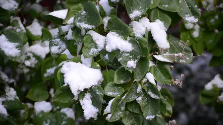prickly : Snow fell early and covered the green leaves on trees Stock Footage