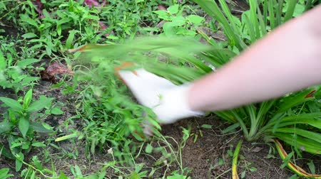 plucks : Woman plucks the grass in flower garden Stock Footage