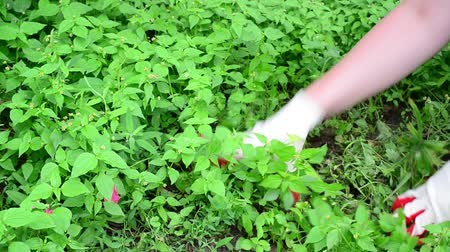 plucks : Woman plucks the grass in garden Stock Footage