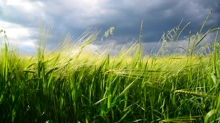 gale : Field of green rye before thunderstorm. Russia