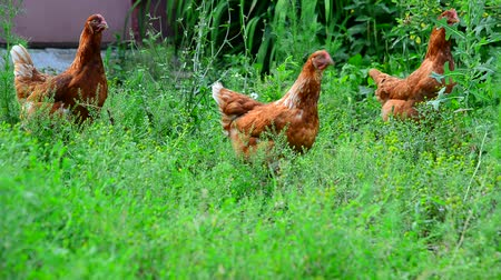 kuşçuluk : Red chickens eat grass in the courtyard