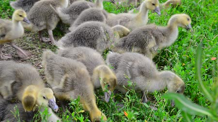 binnenhof : Goslings tweak the grass in yard Stockvideo