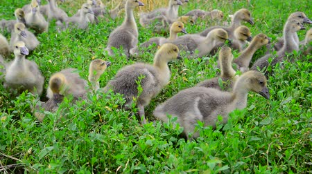 tweak : Goslings tweak the grass in yard Stock Footage