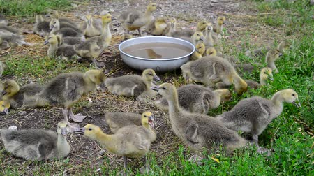 tweak : Many goose in yard near the drinker
