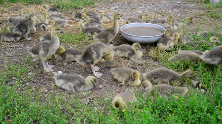 avlu : Many goose in yard near the drinker
