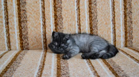 mestiços : three-month-old crossbred with Scottish breed kitten lies on couch