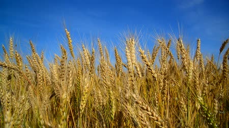 stonky : Ripe wheat swayed in wind. Russia