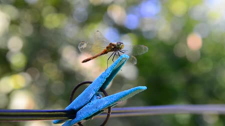 prendedor de roupa : Dragonfly sits on clothespin. Outdoors