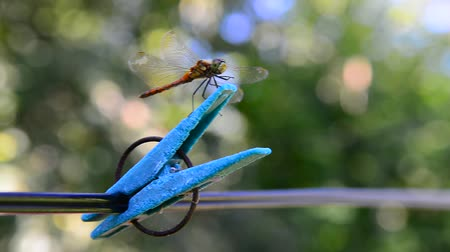 ruhacsipesz : Dragonfly sits on clothespin. Outdoors