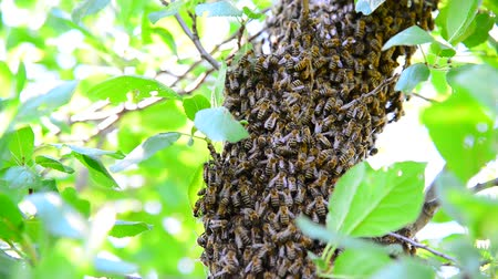 śliwka : The bee swarm on plum tree