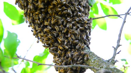 honeybee : The bee swarm on plum tree