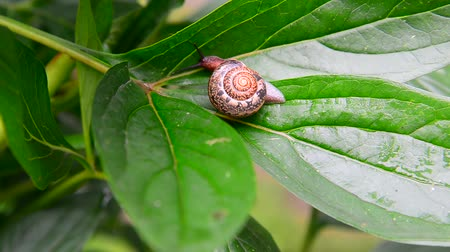 svitek : Snail is creeping on green leaf. Dostupné videozáznamy