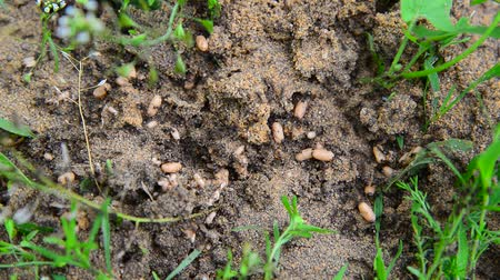 their : Ants carry their eggs on ground