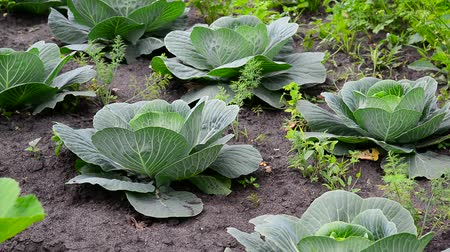 aliment : Young cabbage grows in a garden