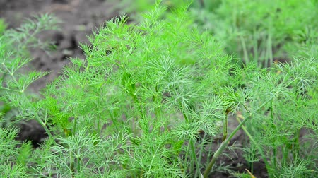 fennel : Young fennel in garden Stock Footage