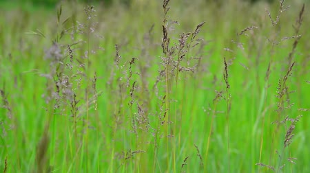 mead : Green field grass in wind in summer Stock Footage