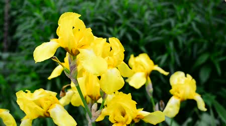 rack focus : Yellow iris on flower bed closeup Stock Footage