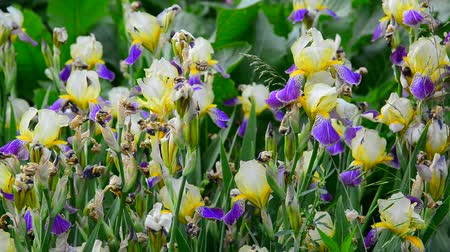 rack focus : Yellow and blue iris on flower bed closeup