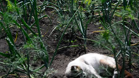 kapor : Siamese cat rejoices and plays on warm earth in the garden Stock mozgókép