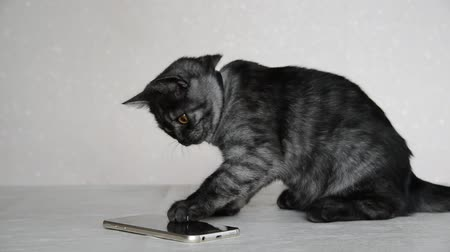 bontkraag : Gray 4 month old kitten playing with cell phone