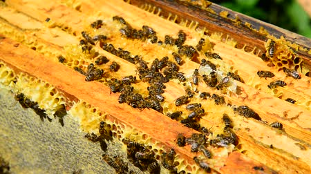 caloric : Honey bees on wax combs, outdoors