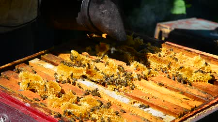 caloric : Beekeeper smokes the smoke of bees - drives away bees Stock Footage