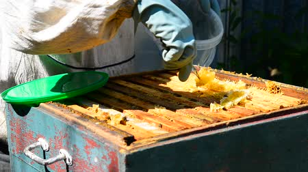 conserva : The beekeeper puts honeycomb into bucket
