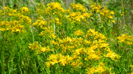estames : Blossoming St. Johns wort