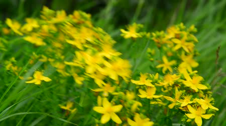 святой : Blossoming St. Johns wort