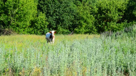 vemeno : One motley cow grazing in meadow, Russia