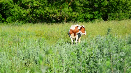 hoof : One motley cow grazing in meadow, Russia