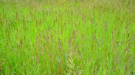 gale : Green meadow with wild grass in summer